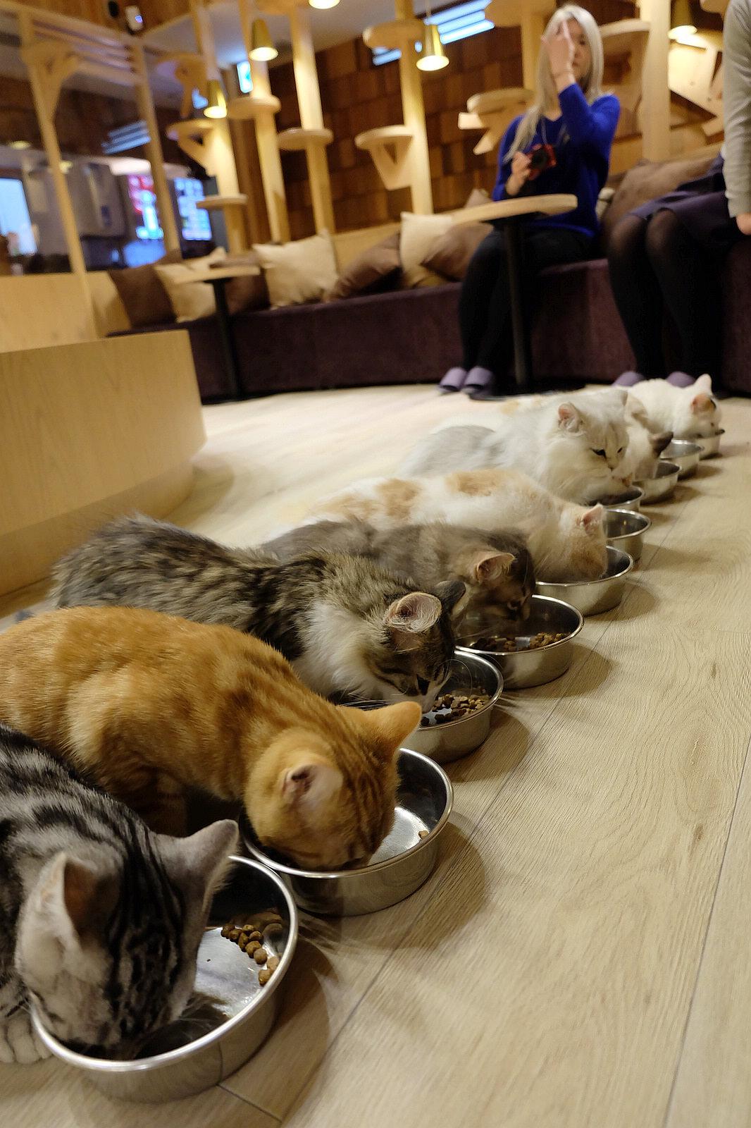 池袋Mocha 貓咪咖啡廳  排排站吃飯萌喵