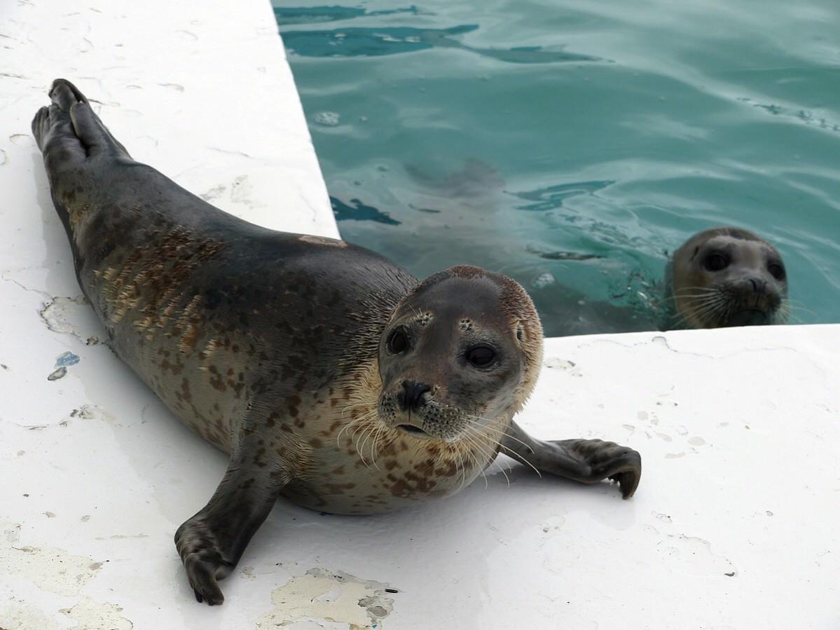 【稚內景點】稚內野寒布岬可愛小海豹一日遊 2015新年北海道行