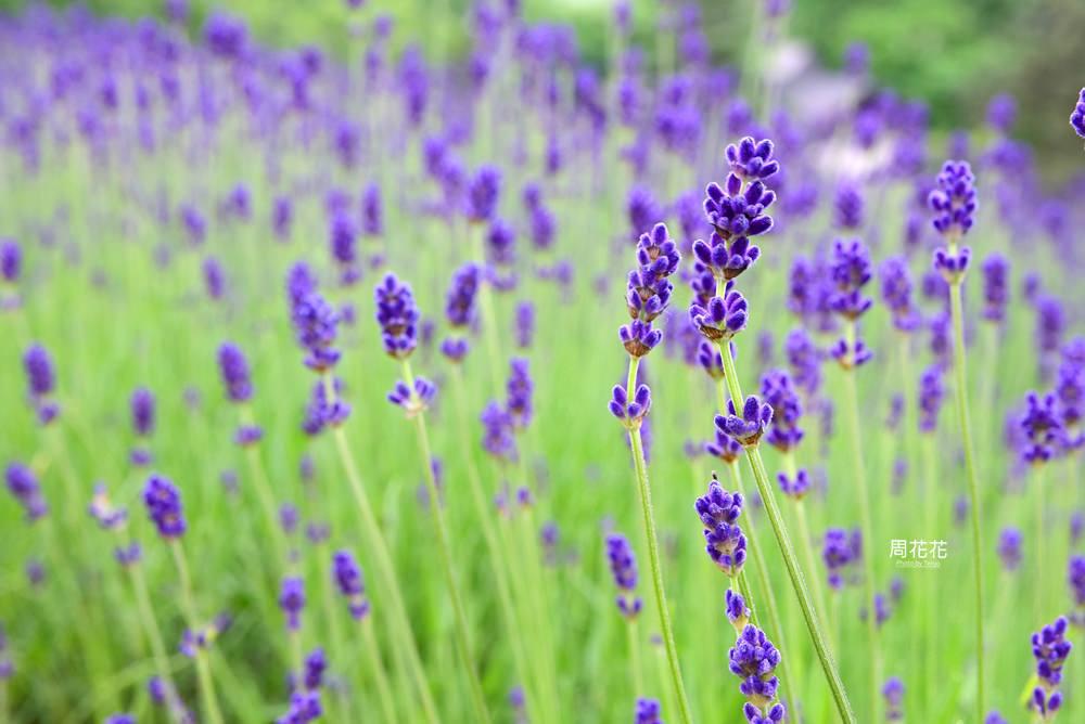 【日本遊記】北海道富良野富田農場 日本最大薰衣草花田!屬於夏季的紫色浪漫