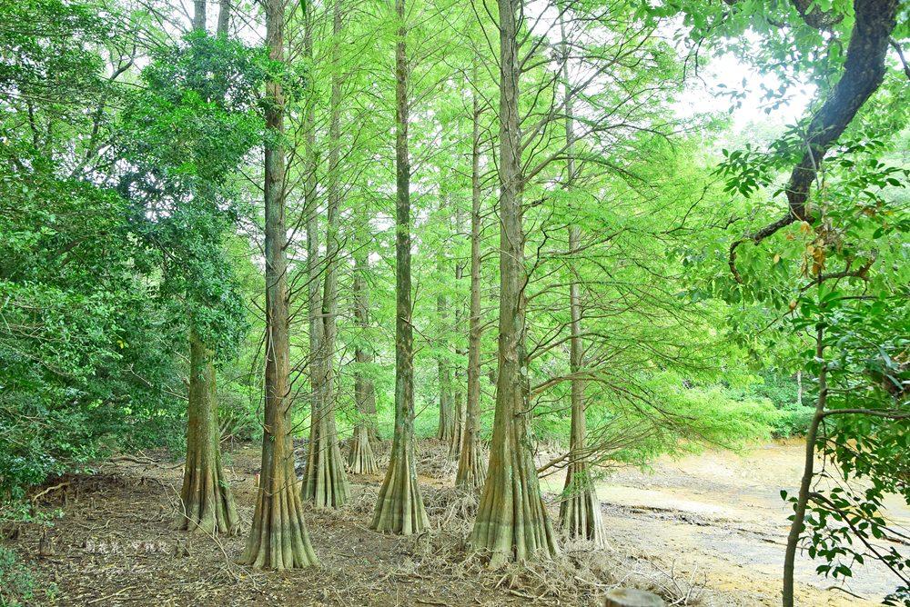 【福岡秘境景點】篠栗九大の森 巨大水中落羽松!魔幻森林般絕景攝影點
