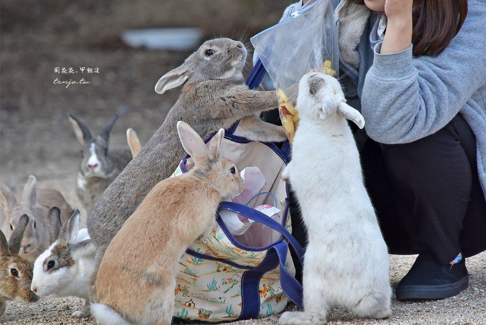 【廣島景點】大久野島兔島 上千隻兔子圍繞的療癒!交通船班資訊、岡山大阪如何前往