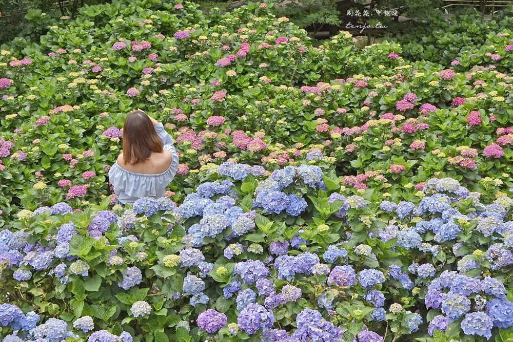 【陽明山竹子湖繡球花季】大梯田花卉生態農園 2020花況、門票價格、交通停車資訊