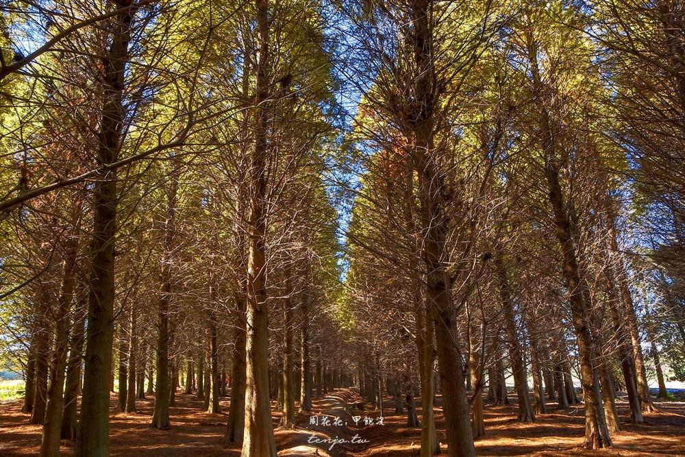 【桃園景點】八德落羽松森林 絕美落羽松秘境推薦!交通收費資訊、一日遊行程規劃